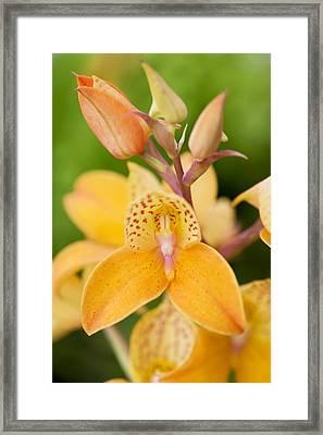 Orchid Disa Kewensis Framed Print by Jon Stokes