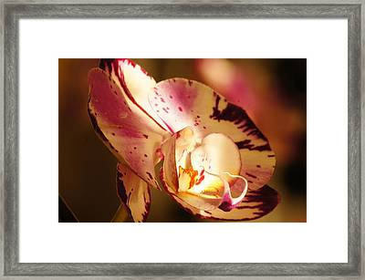 Orchid Fangs Framed Print by Bj Hodges
