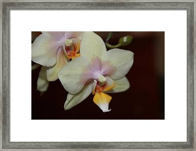 Framed Print featuring the photograph Orchid I by Kelly Hazel