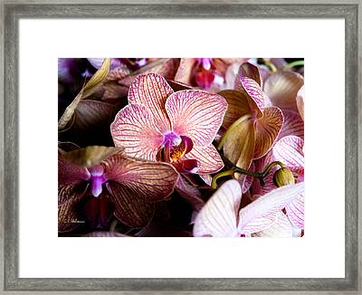 Orchid IIi Framed Print by Christopher Holmes