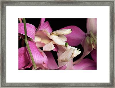 Orchid Mantis Hymenopus Coronatus Framed Print by Michael & Patricia Fogden