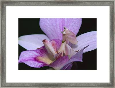 Orchid Mantis In The Pink Framed Print by Thomas Marent