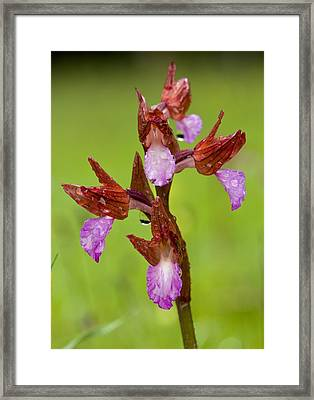 Orchid (orchis Papilionacea) Framed Print by Bob Gibbons