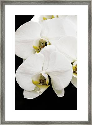 Orchid Framed Print by Paul Plaine