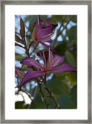 Orchid Tree Framed Print by Joseph Yarbrough