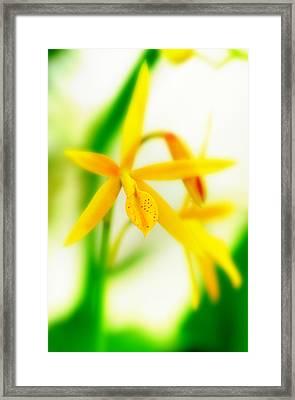 Orchid Vi Framed Print by Floyd Menezes