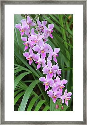 Orchids 15 Framed Print by Becky Lodes