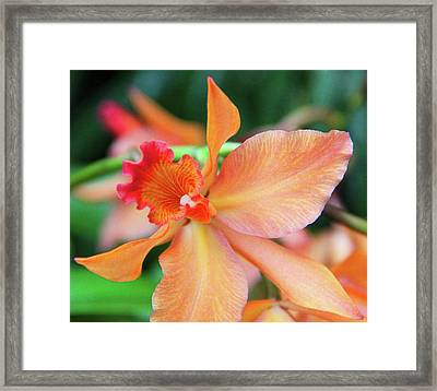 Orchids 25 Framed Print by Becky Lodes