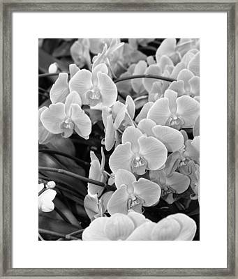 Orchids IIi Bw Framed Print by William Dey