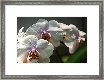 Orchids In Spring Shower Framed Print by Kelly Rader