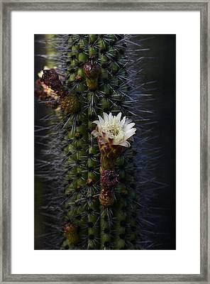 Organ Pipe Cactus  Framed Print by Saija  Lehtonen