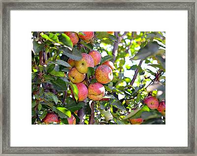 Organic Apples In A Tree Framed Print by Susan Leggett