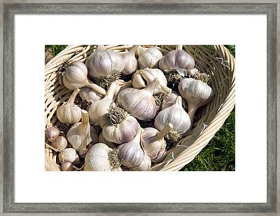 Organic Garlic Bulbs Framed Print
