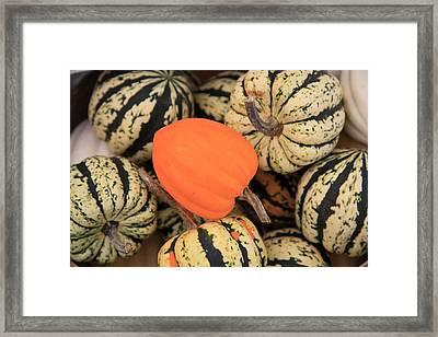 Organic Pumpkins Framed Print by Wendy Connett