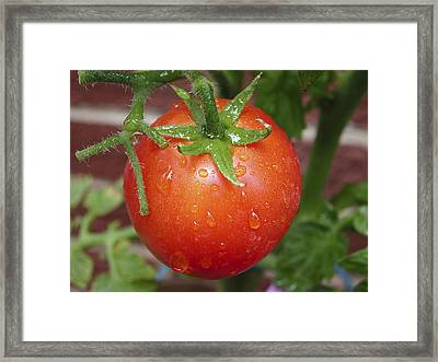 Framed Print featuring the photograph Organic Tomato  by Nick Mares