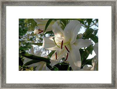 Framed Print featuring the photograph Oriental Lilies by Wanda Brandon