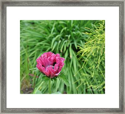 Framed Print featuring the photograph Oriental Poppy Bloom by Tanya  Searcy