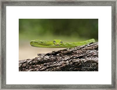 Oriental Whip Snake  Framed Print