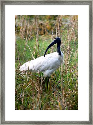 Framed Print featuring the photograph Oriental White Ibis by Pravine Chester