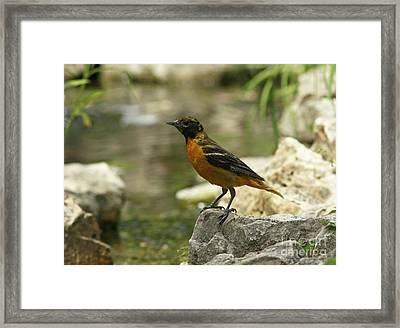 Oriole At The Waters Edge Framed Print by Inspired Nature Photography Fine Art Photography