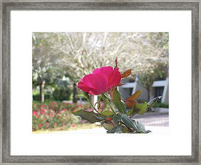 Orlando Rose Framed Print by Jane Whyte
