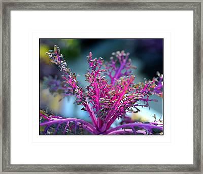 Ornamental Cabbage Framed Print by Judi Bagwell