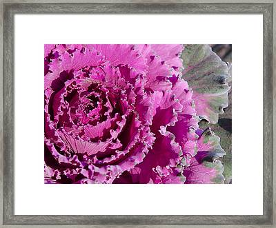 Framed Print featuring the photograph Ornamental Kale by MaryJane Armstrong