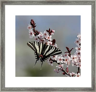 Ornamental Plum Blossoms With Zebra Swallowtail Framed Print by Lara Ellis