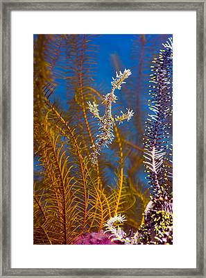 Ornate Ghost Pipefish Framed Print by Peter Scoones