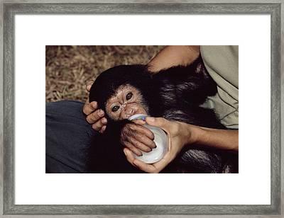 Orphaned Chimpanzee Framed Print by Tony Camacho