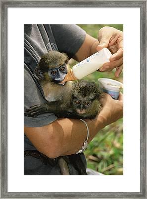 Orphaned Guenons Framed Print by Tony Camacho