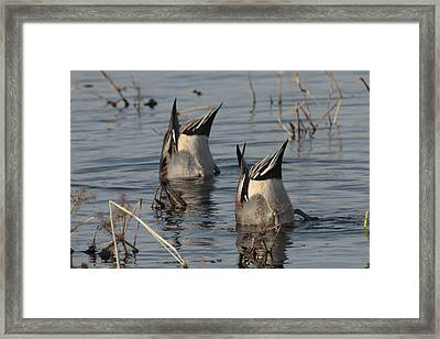 Orthern Pintails Tail Up Dabbling Framed Print by George Grall