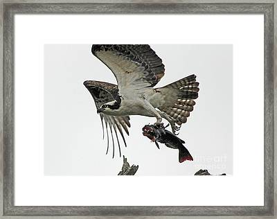 Framed Print featuring the photograph Osprey - Catfish by Larry Nieland