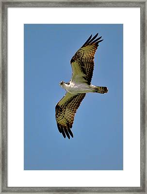 Osprey Above Framed Print