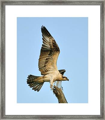 Framed Print featuring the photograph Osprey After Flight by Rick Frost