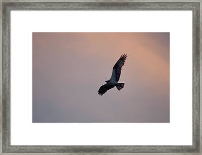 Osprey Against The Colorful Sky Framed Print by Bill Cannon