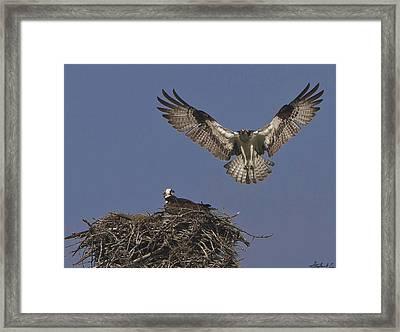 Osprey At Beavertail Framed Print