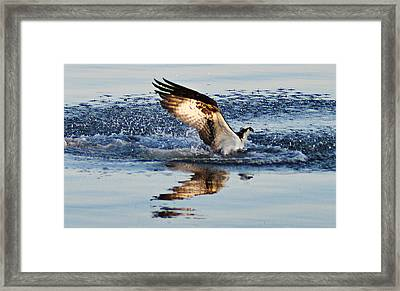 Osprey Crashing The Water Framed Print by Bill Cannon