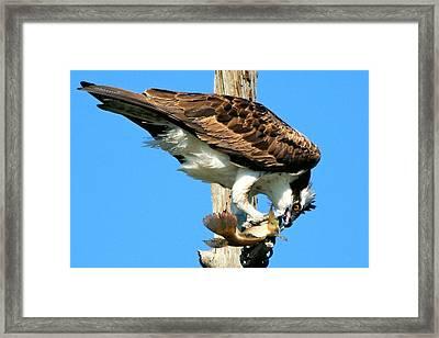 Osprey Eating A Fish Framed Print