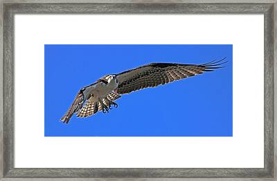 Framed Print featuring the photograph Osprey Flight by Larry Nieland