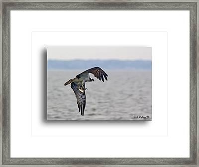Osprey Grab Framed Print by Brian Wallace