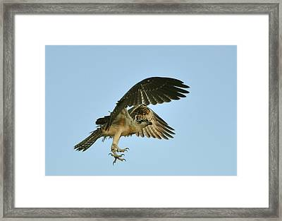 Framed Print featuring the photograph Osprey In Flight by Rick Frost