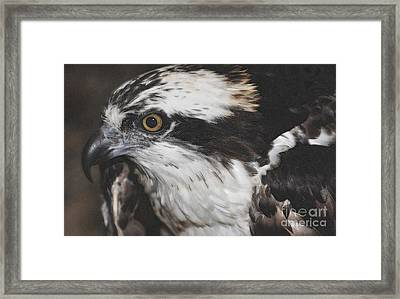 Framed Print featuring the photograph Osprey by Lydia Holly
