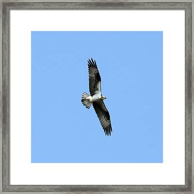 Osprey Framed Print by Mark J Seefeldt