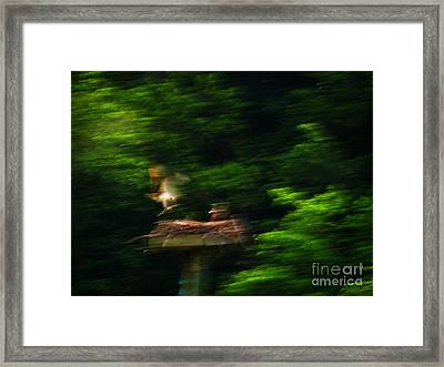Osprey Motion Framed Print by Rrrose Pix