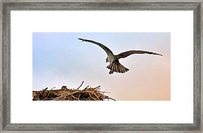 Osprey Nest Framed Print