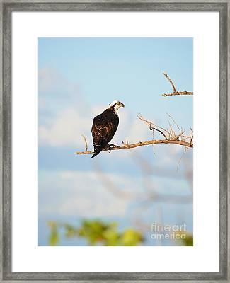 Osprey On Branch Framed Print by Lynda Dawson-Youngclaus