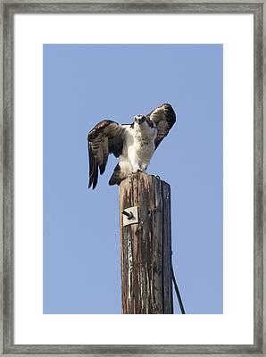 Osprey Pandion Haliaetus Perched Framed Print