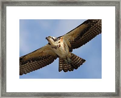 Osprey Framed Print by Phil Lanoue