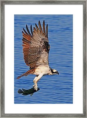 Osprey With A Fish Framed Print